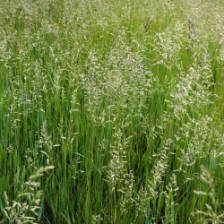 Sheep's fescue 'Bornito' - 5 kg