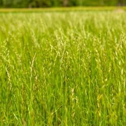 Vytrvalá ríbezľa 4N 'Calibra' na pastviny - 5 kg; Anglická ríbezľa, zimná ríbezľa, lúčna tráva -