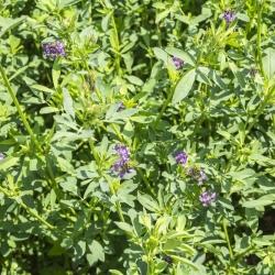 Alfalfa 'Felsy' - 1 kg -