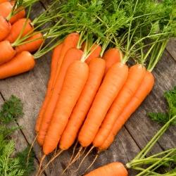 Zanahoria 'Knota F1' calibrada (1.8 - 2.0) 25000 semillas - semillas profesionales para todos -