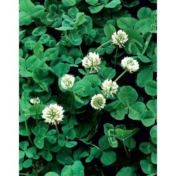 Valge ristik 'Grasslands Huia' - 5 kg -