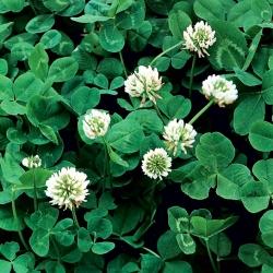 White clover 'Grasslands Huia' - 0.5 kg