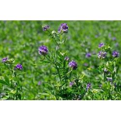Alfalfa 'Gea' - 0.5 kg