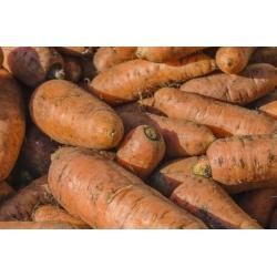Fodder carrot 'Krystyna' - 100 g