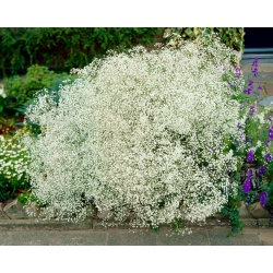 Aliento de bebé de flores blancas - Gypsophila - conjunto de raíces -