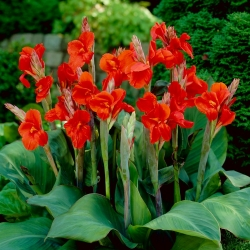 Canna lily - President