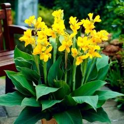 Canna lily - Yara