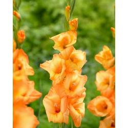 Gladiolus 'Ovatie' - 5 bulbs