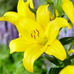 Žlto-kvetovaná ľalia stromu -