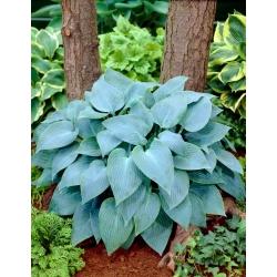 Hosta 'Canadian Blue'; plantain lily, giboshi