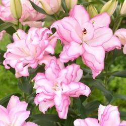 """Двойная восточная лилия """"Розелили Анушка"""" - прекрасный аромат! -"""