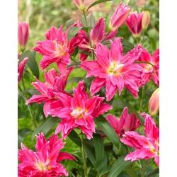 Махровая восточная лилия - Roselily Julia - райский аромат! -