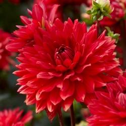 Dalija - Vrtno čudo -