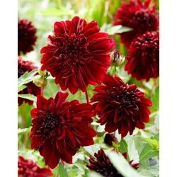 Dahlia - Soulman - anemone-õitega -