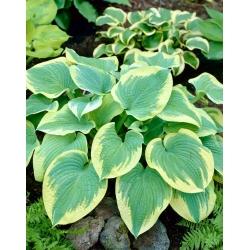 Hosta 'Robert Frost'; plantain lily, giboshi