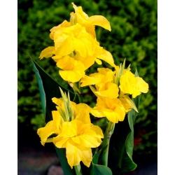 Canna lily - Richard Wallace