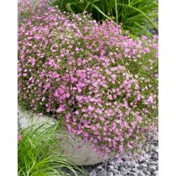 Aliento de bebé de flores rosas - Gypsophila - conjunto de raíces -