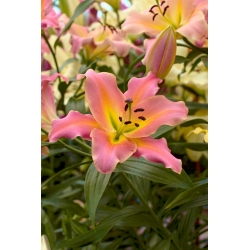 Ružová kvetina ľalia -