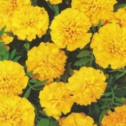 """""""Amulet"""" francia körömvirág - dupla sárga virágok -"""