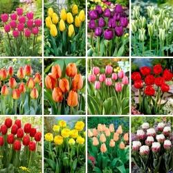 Juego de tamaño XL: 60 bulbos de tulipán, selección de las 12 variedades más hermosas -