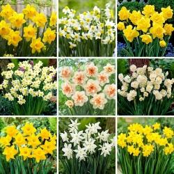 L méretű készlet - 45 nárcisz- és nárciszhagyma, 9 legszebb fajta kiválasztása -