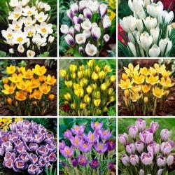 Juego de tamaño L: 90 bulbos de azafrán, selección de las 9 variedades más hermosas -