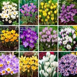 Juego de tamaño XXL: 240 bulbos de azafrán, selección de las 12 variedades más hermosas -