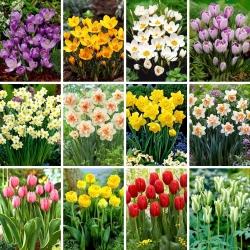 Juego de tamaño XL: 80 bulbos de flores de primavera, selección de las 12 variedades más hermosas -