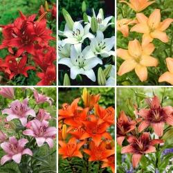 Střední sada - 6 cibulek asijských lilií, výběr nejkrásnějších odrůd -