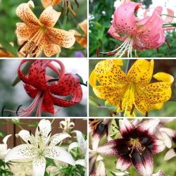 Střední sada - 6 žárovek tygřích lilií, výběr nejkrásnějších odrůd -