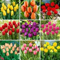 Juego de tamaño L: 45 bulbos de tulipán, selección de las 9 variedades más hermosas -
