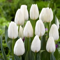"""Tulipán """"capa de hielo"""" - 5 bulbos -"""