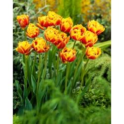"""Tulipán """"Bonanza"""" - 5 bulbos -"""