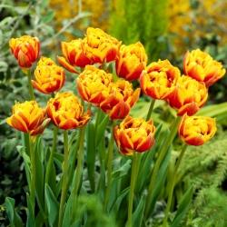 """Tulipán """"Bonanza"""" - 50 bulbos -"""
