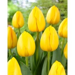 "Tulipán ""Nové slnko"" - 5 žiaroviek -"