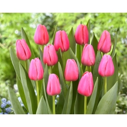 """Tulipán """"Big Love"""" - 5 žiaroviek -"""
