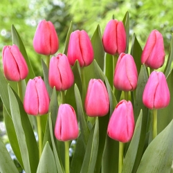 """Big Love"" tulip - 5 bulbs"