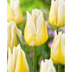 """Tulipán """"Flaming Agrass"""" - 50 žiaroviek -"""
