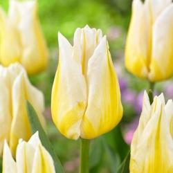 """Tulipán """"Flaming Agrass"""" - 5 žiaroviek -"""