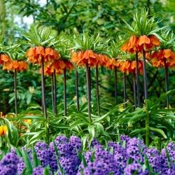 Orange crown imperial and blue grape hyacinth – 12 piece set