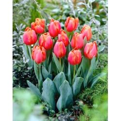"""""""Jimmy"""" tulip - 5 bulbs"""