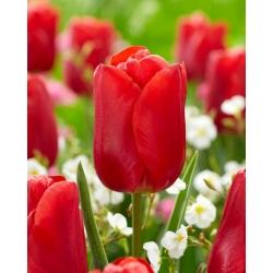 """Tulipán """"Red Jimmy"""" - 50 bulbos -"""