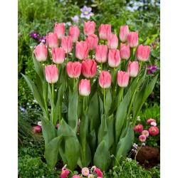 """Dynasty"" tulipán - 5 izzók -"