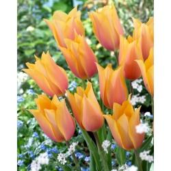 """Tulipán """"Blushing Lady"""" - 5 bulbos -"""
