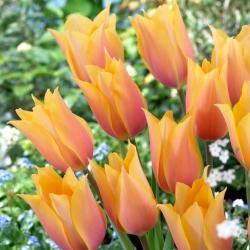 """Tulipán """"Blushing Lady"""" - 50 bulbos -"""