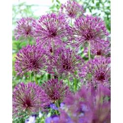 """""""Purple Rain"""" dekoratīvais sīpols - 30 sīpoli -"""