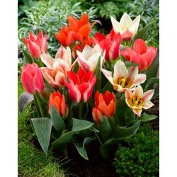 Greigii Mix - selección de tulipanes de bajo crecimiento - 50 bulbos -