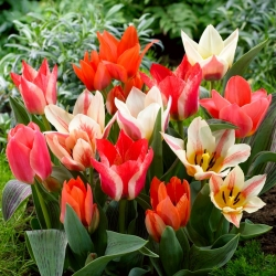 Greigii Mix - low-growing tulip selection - 5 bulbs
