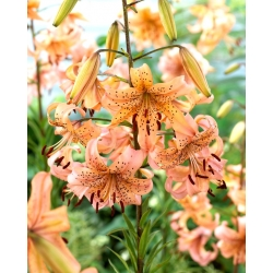 """""""Pink Giant"""" tiger lily"""