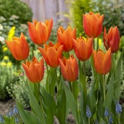 """Tulipán """"Greetje Smit"""" - 50 žiaroviek -"""